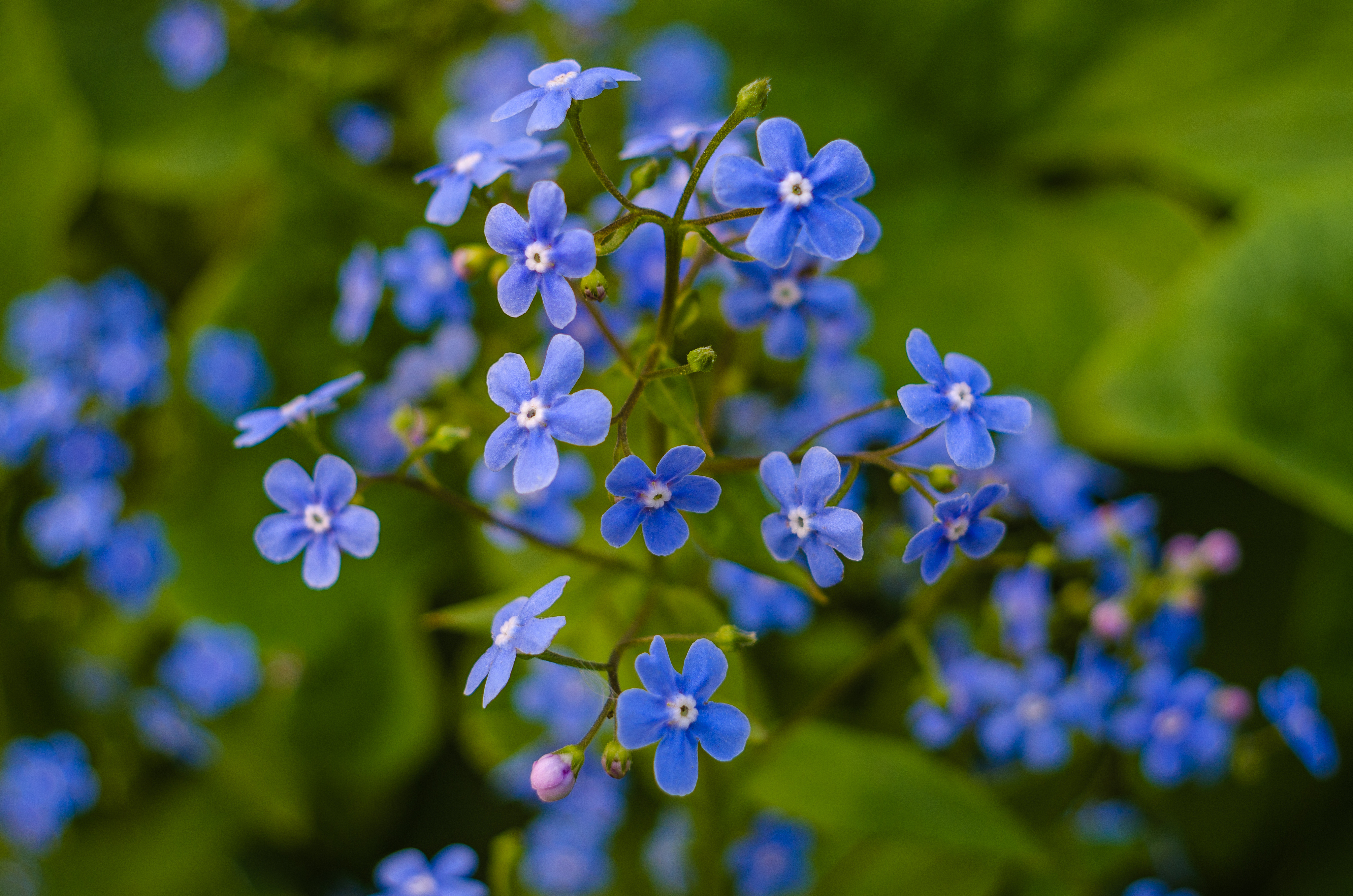 Perennial Forget-Me-Not