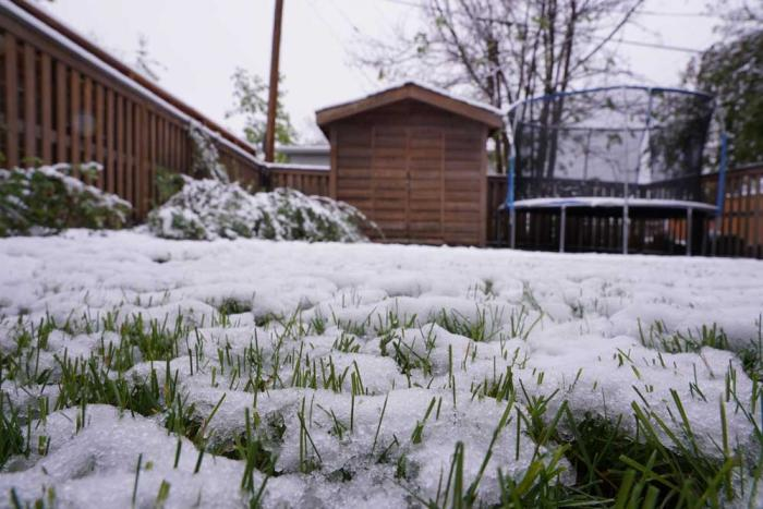 Green grass pokes through a blanket of snow on a lawn.