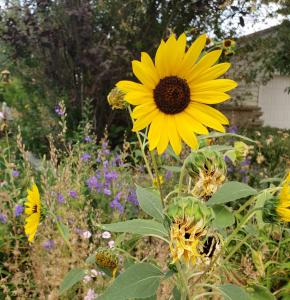 A brilliant yellow sunflower hovers above a Denver-area yard, with a garage in the background.